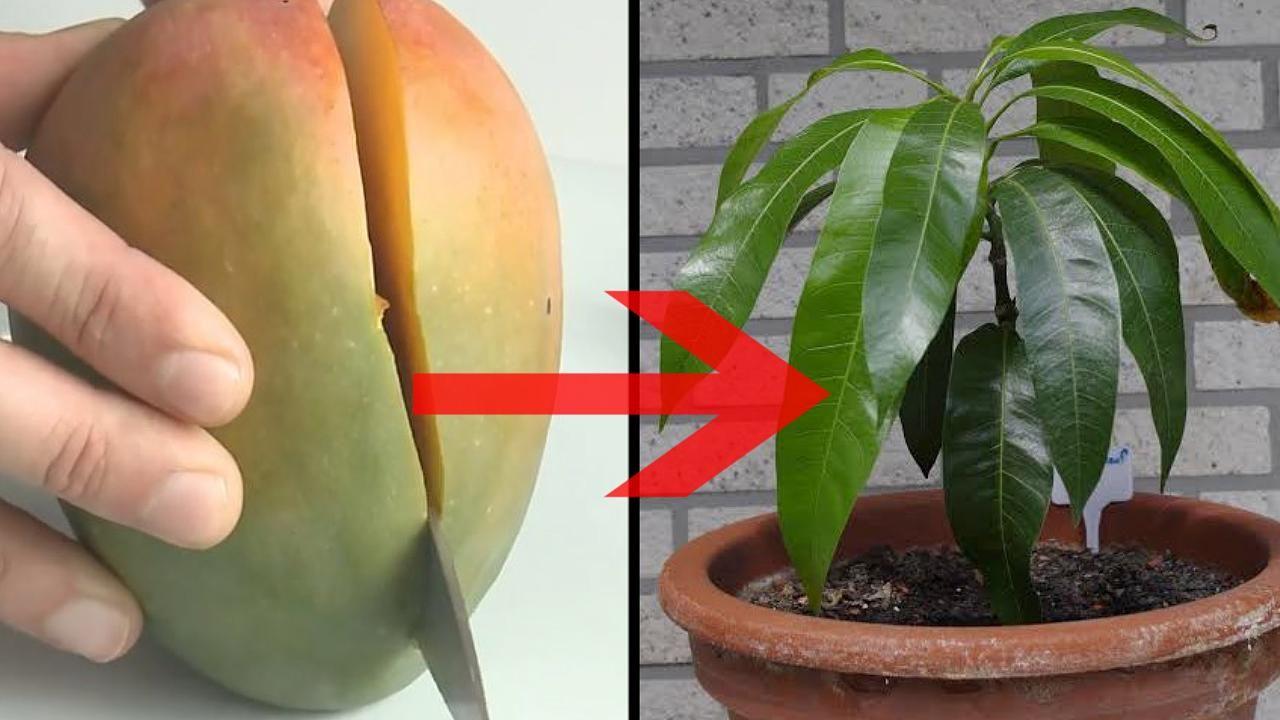 so einfach z chten sie aus einer mango einen ganzen mangobaum video frukt f r hemmet och id er. Black Bedroom Furniture Sets. Home Design Ideas