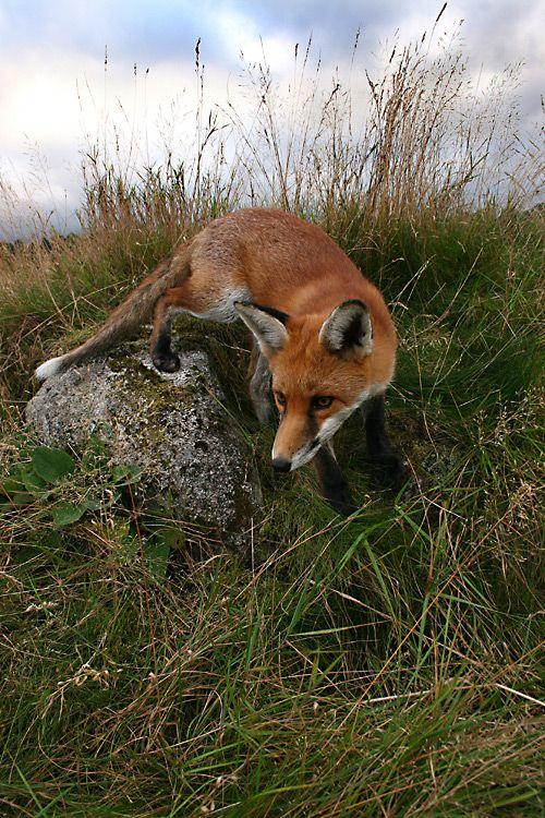 Glendalough, Ireland-red fox