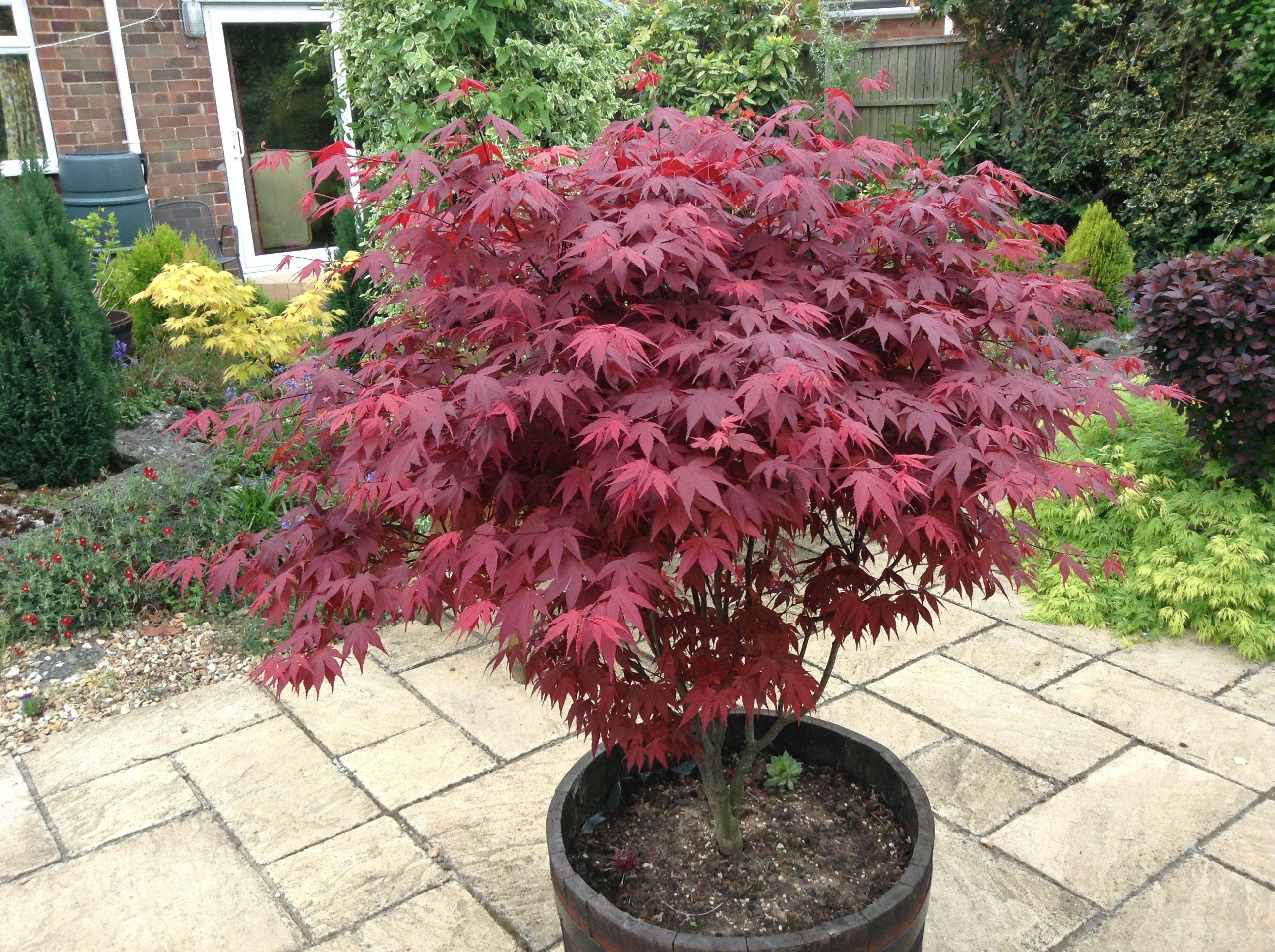 How to care for a fern leaf japanese maple - Acer Palmatum Atropurpureum Dwarf Japanese Maple