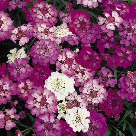 Candytuft Fairy Mixed B Q Flower Seeds B Q Growing With Suttons Flower Seeds Flower Seeds Online Flowers Perennials