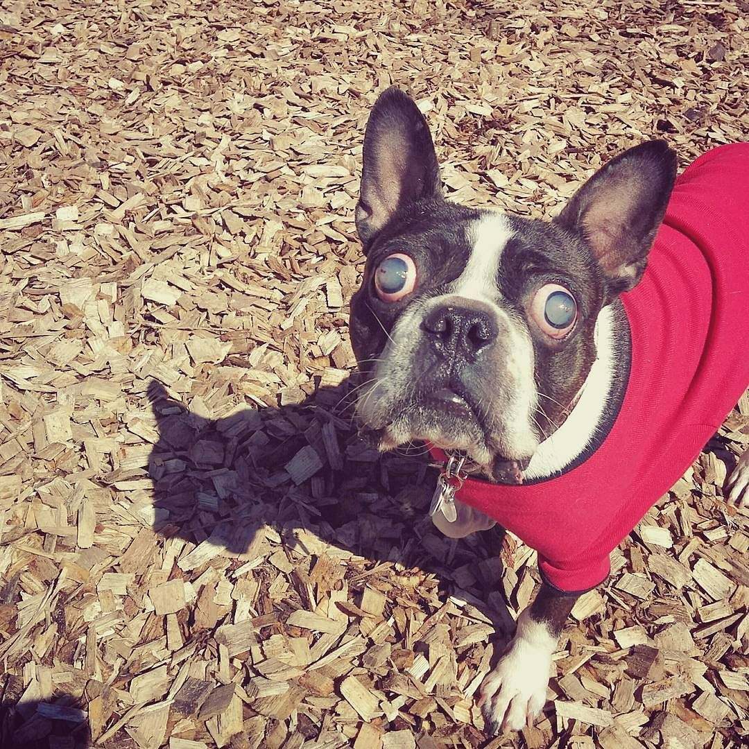 How am I supposed to find the good sticks when the WHOLE PARK smells like good sticks?!  #blinddog #specialdog #bostonterrier #btcult #btsofinstagram #bostonterriersofinstagram #torontodogs #torontobostonterrier #flatnosedogsociety #squishyfacecrew #dogsofinstagram by blindbostoncisco