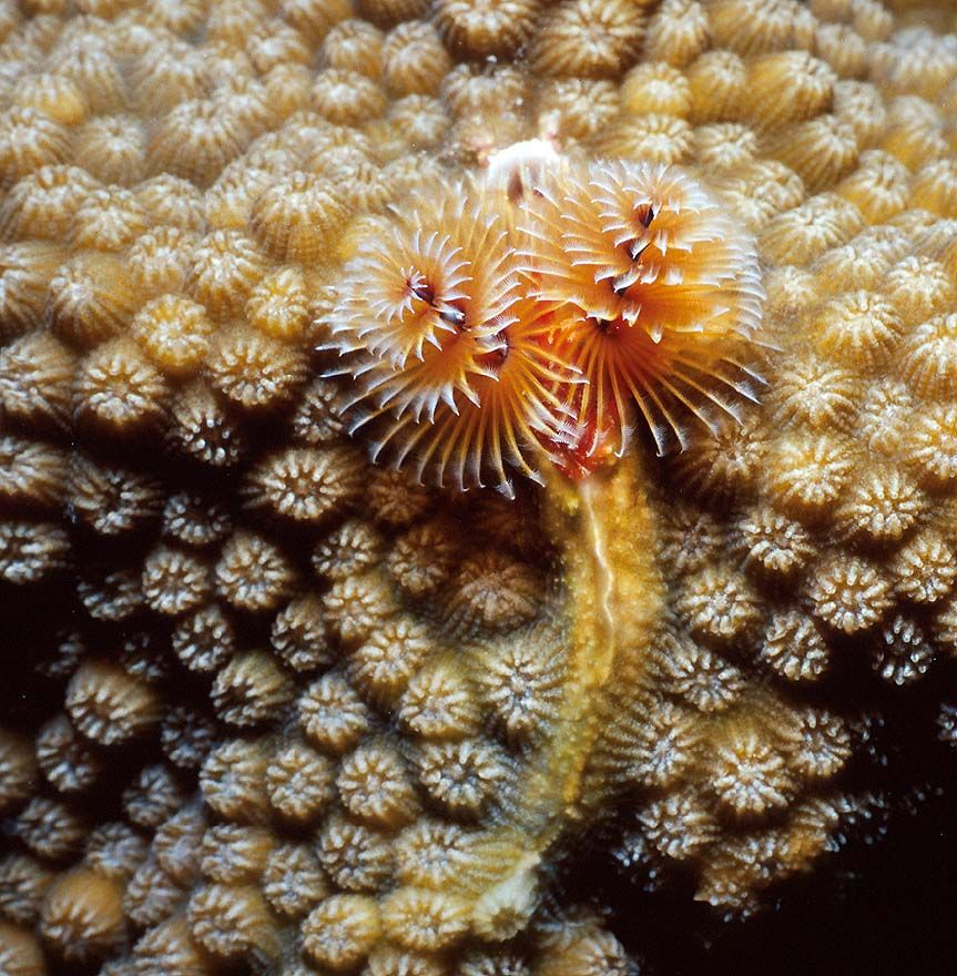 Christmas Tree Worm On Star Coral Grand Turk Saltwater Fish Tanks Ocean Treasures Sea Creatures