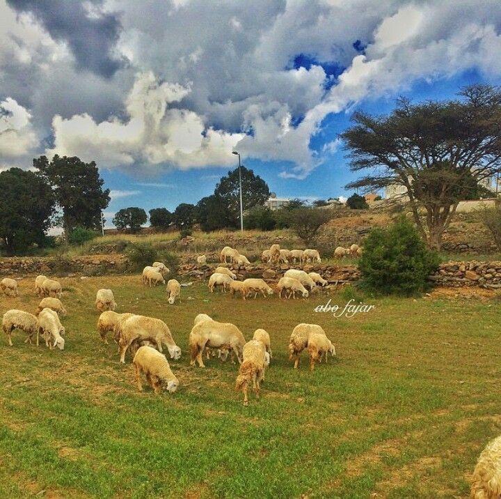قرية ال معلوي Animals Kingdom Goats