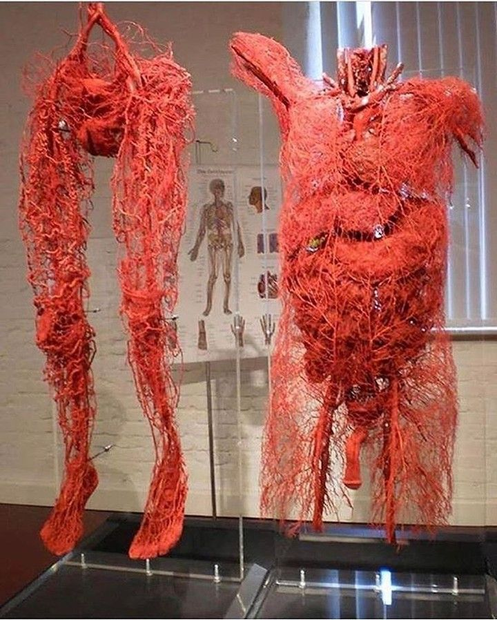 All Blood Vessels In The Human Body Check Out Bossgainz