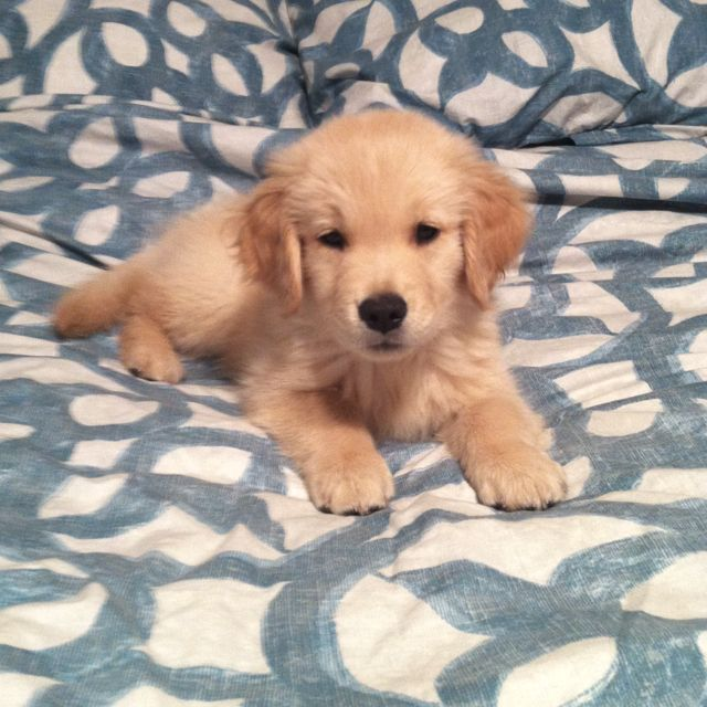 I Want A Golden Retriever Golden Retriever Cute Little Puppies