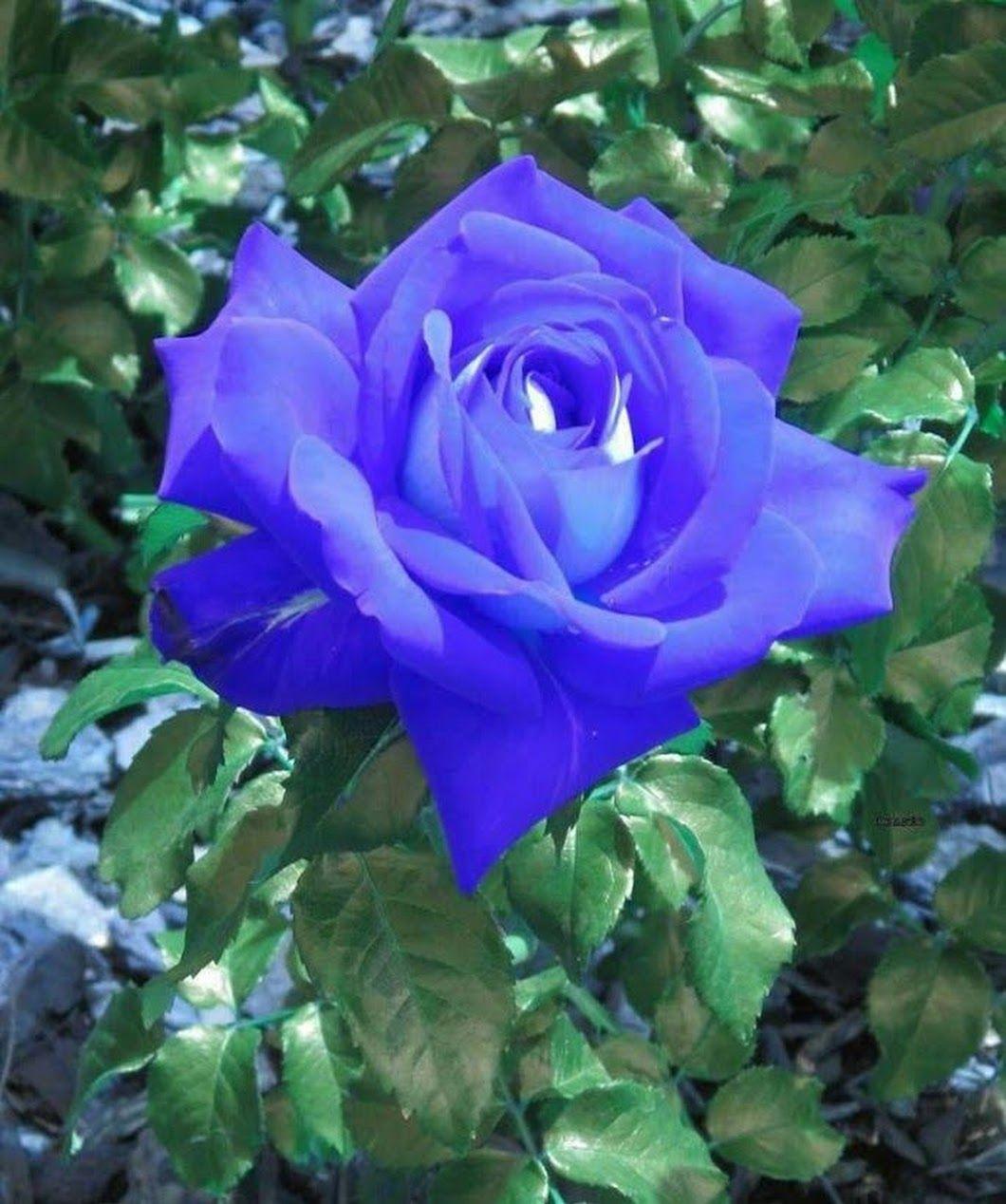 Фотография | Розы, Цветы и Цветок