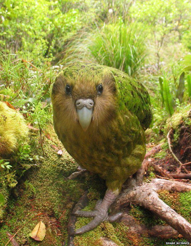 New Zealand kakapo, a flightless, nocturnal bird that is