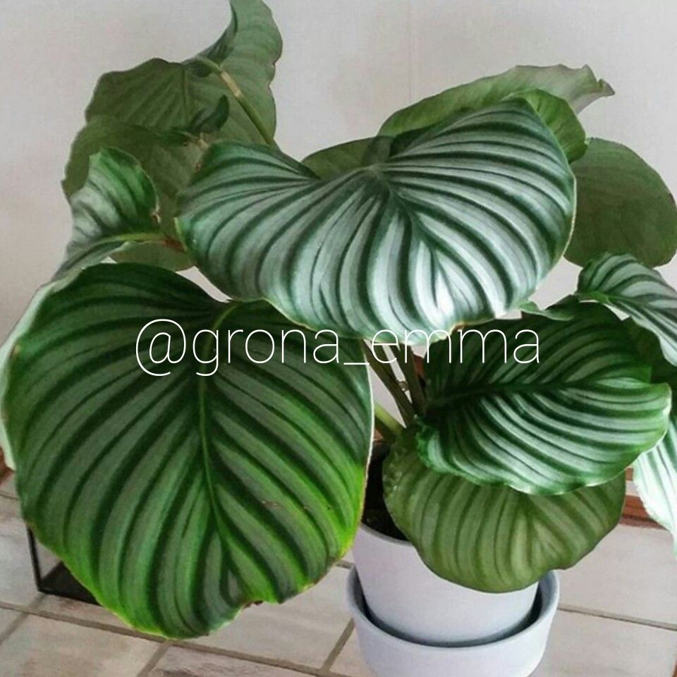 rundkalatea calathea orbifolia placera halvskugga eller ljust men ej direkt sol vattna medel. Black Bedroom Furniture Sets. Home Design Ideas