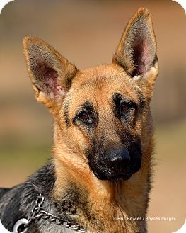 Dacula, GA - German Shepherd Dog. Meet Parker, a dog for adoption. http://www.adoptapet.com/pet/11999462-dacula-georgia-german-shepherd-dog