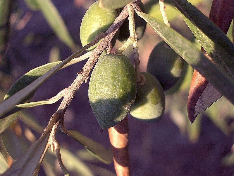 Olive-tree-fruit-august-0 - オリーブ - Wikipedia