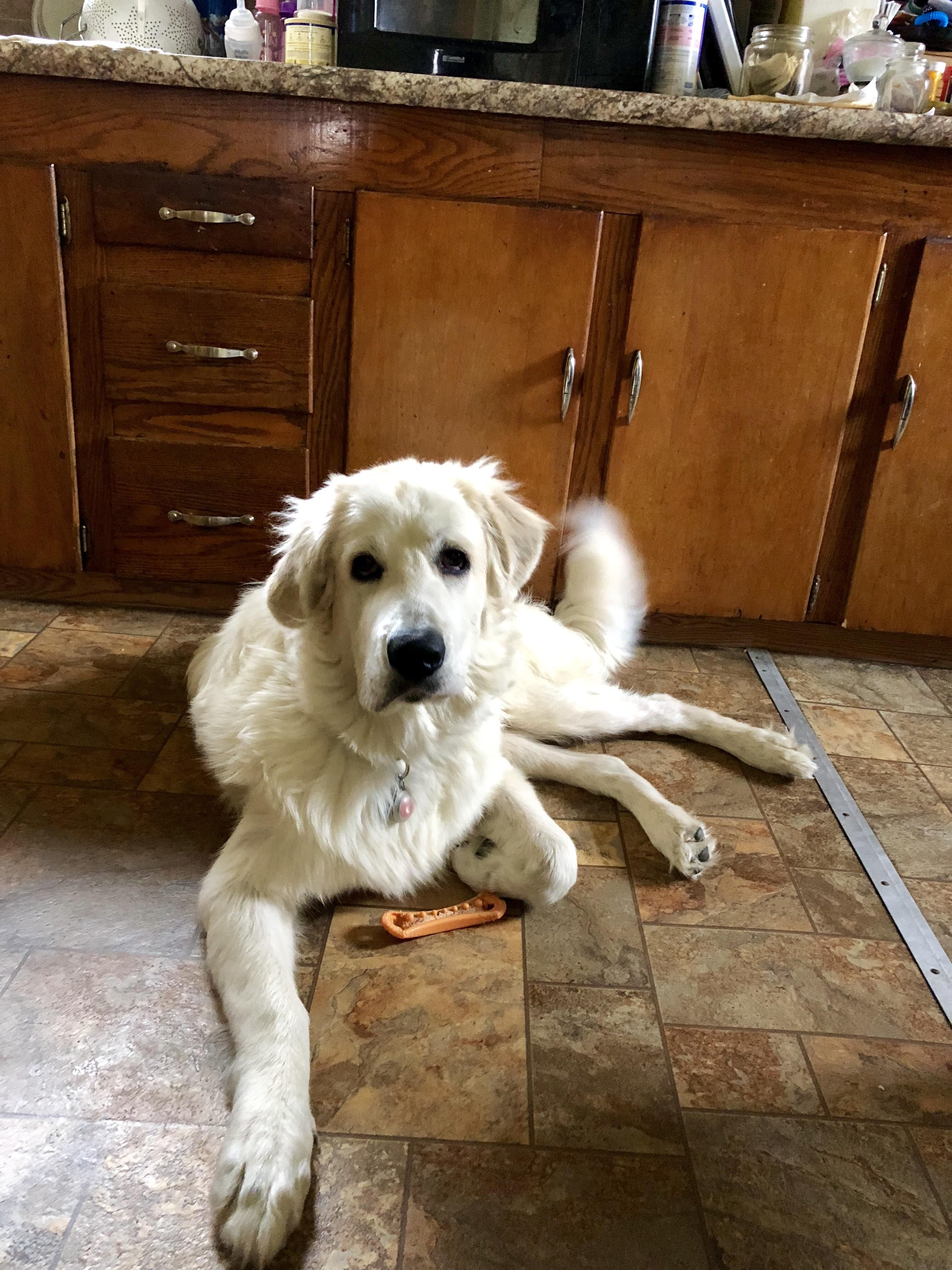 7 Month Old Great Pyrenees Just A Little Pup Http Ift Tt