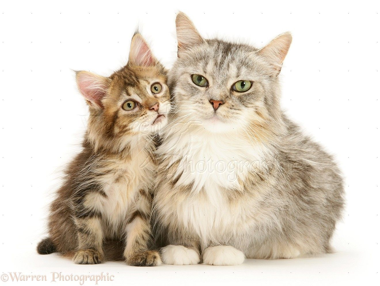 Maine Coon mother cat and kitten white background 1320