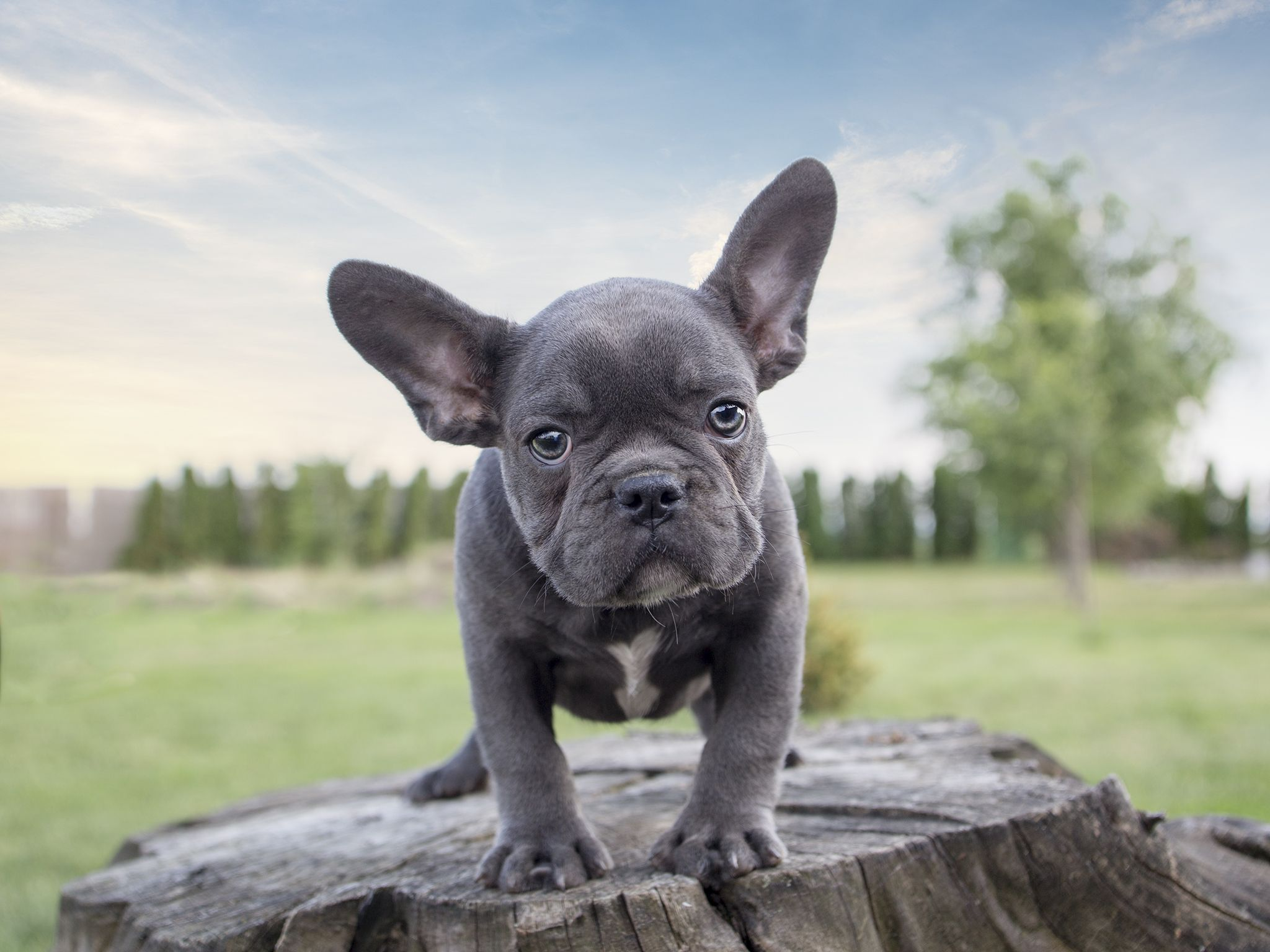 The magnificent appeal of rare Blue French Bulldogs