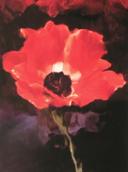 Lillian Bassman  Flower 7 (Red Poppy), 2006