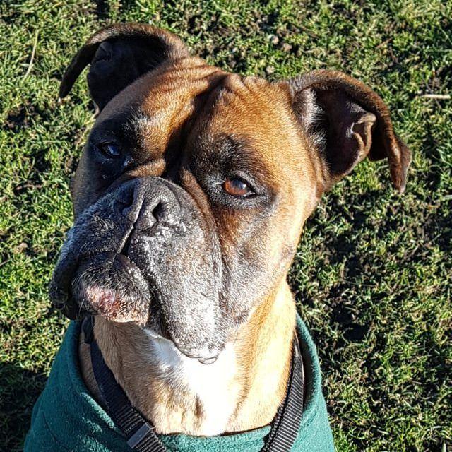 Purdie 9 year old female Boxer Dog adoption, Female