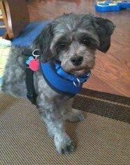Adopt Corty In Ky Adopted On Havanese Dogs Havanese Puppies