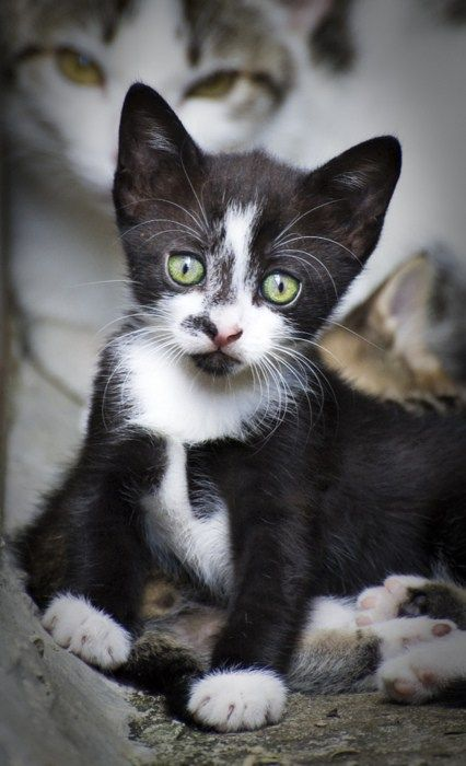 Cyoot Kitteh Of Teh Day Emerald Eyes Baby Animals Pretty Cats