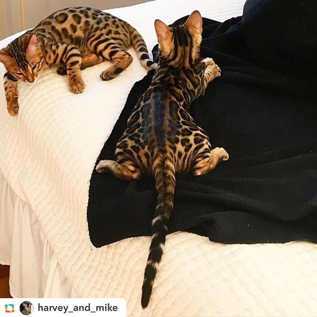 Baby Got Back By Harvey And Mike Bengal Cat Bengal Kitten Siamese Cats Facts