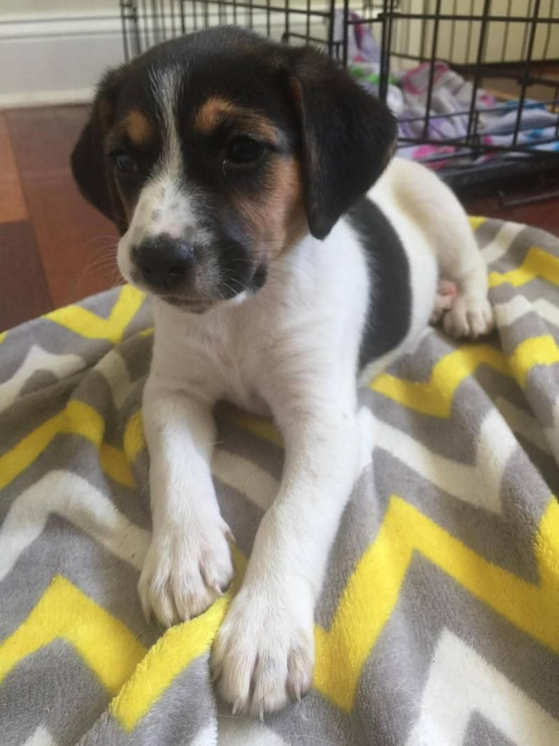 Adopt Blossom *Adoption Pending* on Adoptable beagle