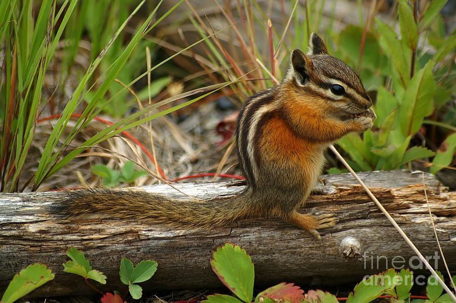 Chipmunk by ralf broskvar animals images animals chipmunks