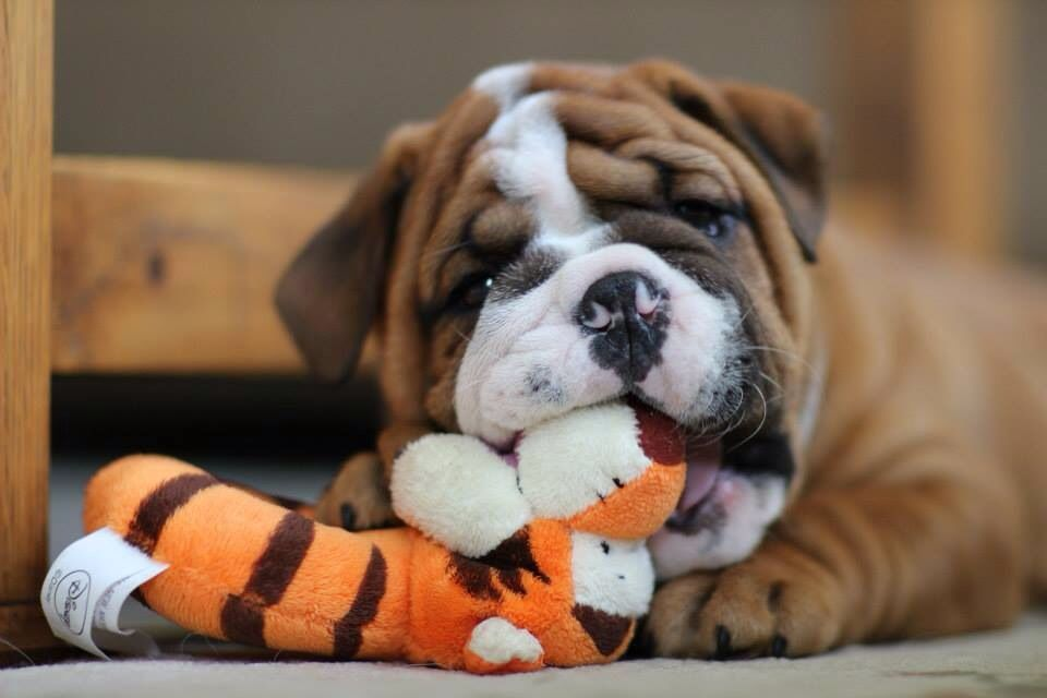 Proud to welcome our new bulldog Samson to the family!
