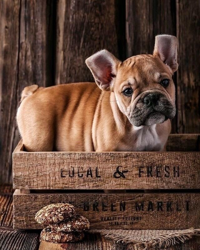 Pin By Godot On All Earth S Creatures French Bulldog Dogs