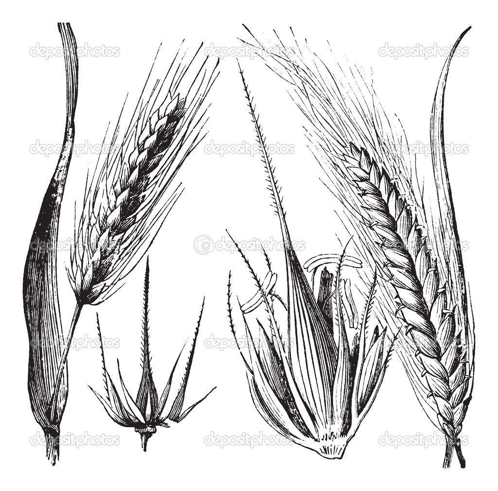 Onezer search image jack - Depositphotos_6755791 Common Barley Or Hordeum Vulgare Barley Hinge