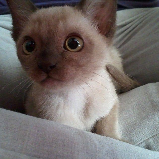 Veganmotogirl Burmese Kittens Burmese Cat 12 Week Old Kitten