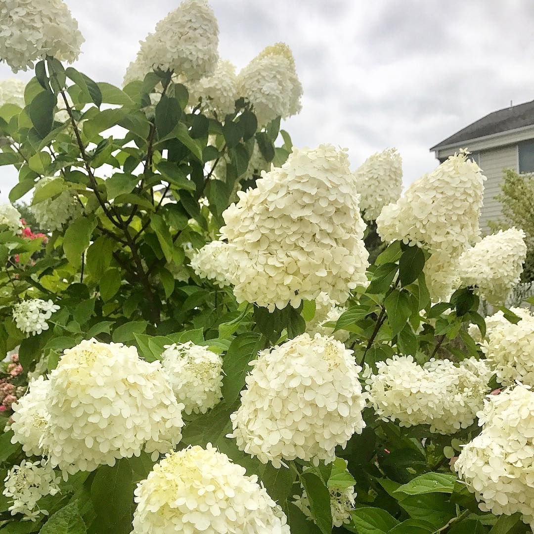 These Flowers Look Like Little Clouds Cool Plants Summer Flowers 1800flowers