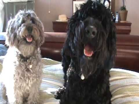 Watermark Critical Positions In The Obama Administration Schnoodle Puppy Schnoodle Dog Poodle Mix