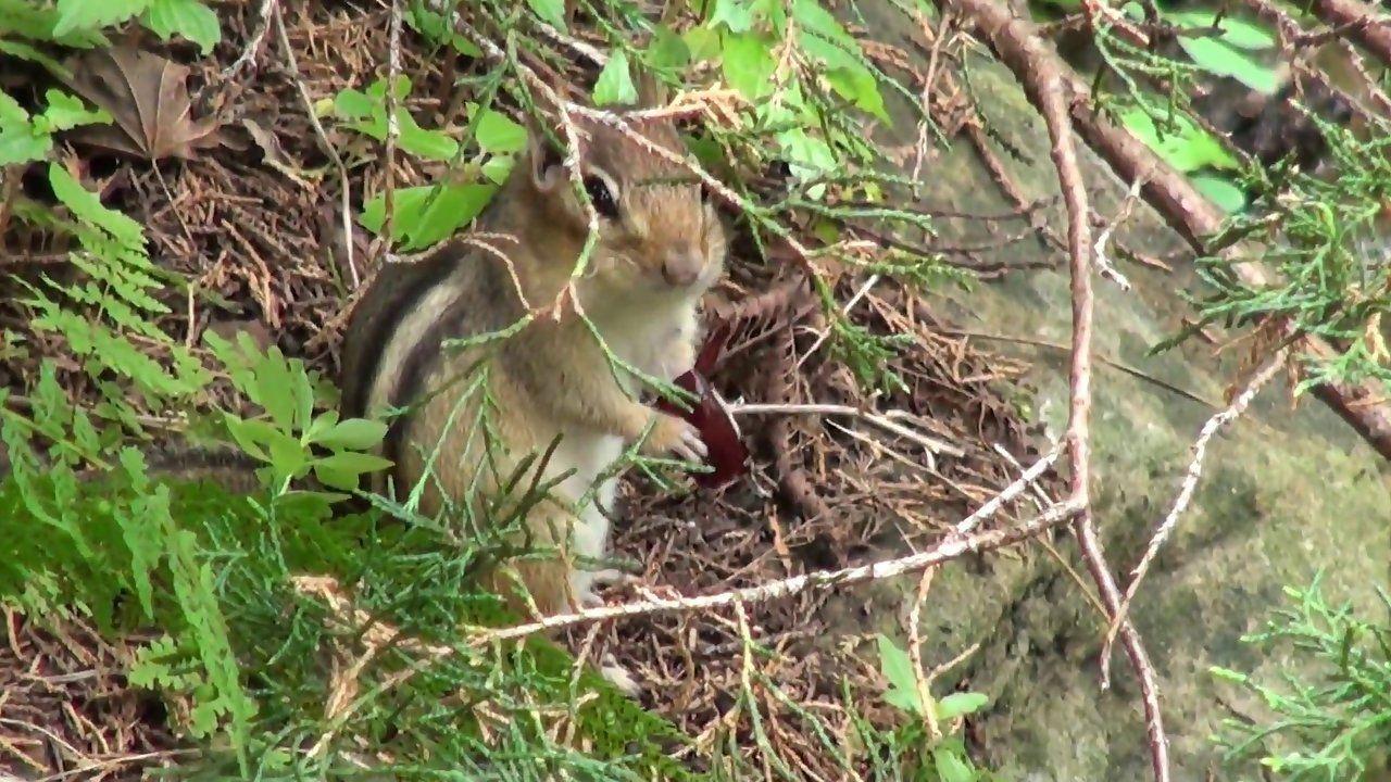Funny Chipmunk | Funny Chipmunk eating food @ Funny Animal Videos - Funny Pet Videos ...