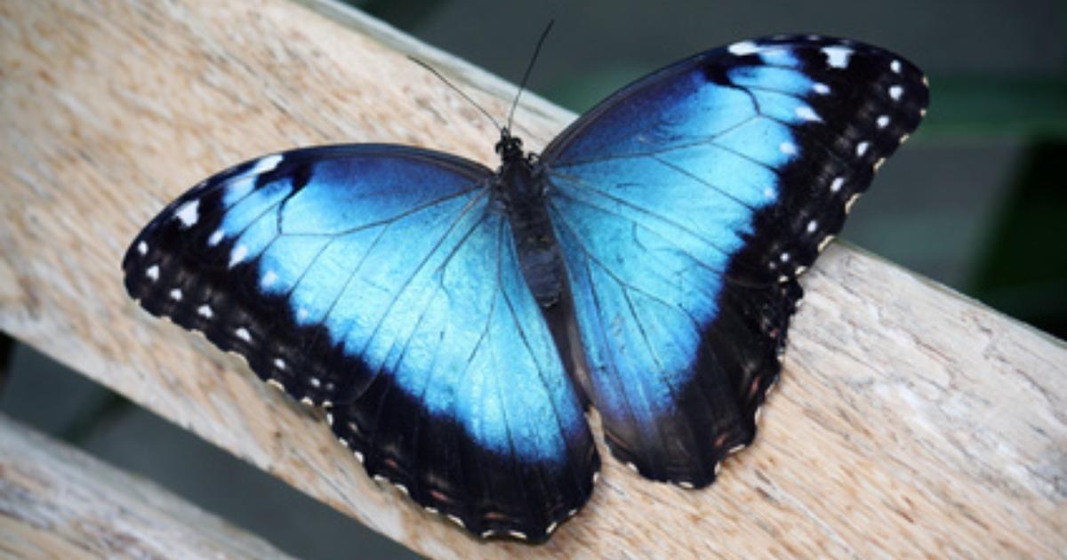 El Significado De Una Mariposa Azul Ideas De Inspiración Blue