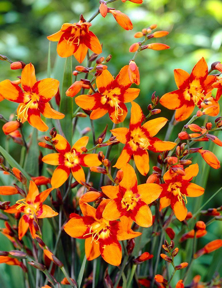 Emily Mckenzie Crocosmia Bulbous Plants Bulb Flowers Plants