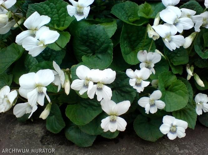 Biale Kwiaty Ogrodowe Naturalna Aranzacja Ogrodu W Bieli Muratordom Pl Plants Flowers Home And Garden