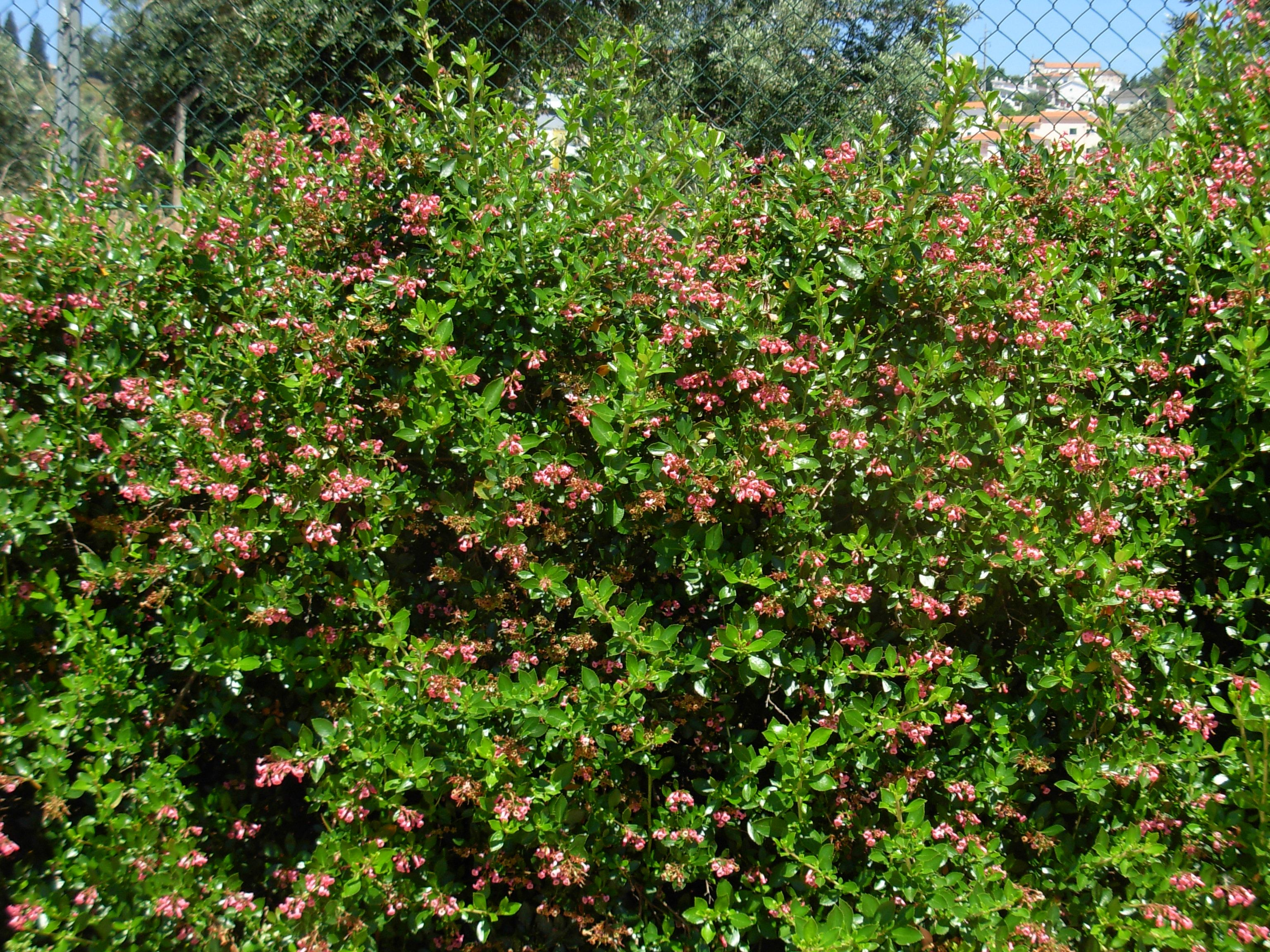 Escallonia rubra newport dwarf prefers hot sun and well