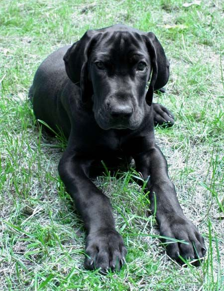 Wish I D Known My Jetty This Small Dane Puppies Great Dane