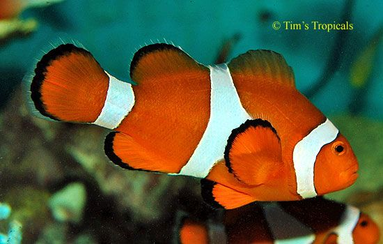 Clown Fish- b.k.a Nemo fish | Saltwater Creatures I Can Readily ...