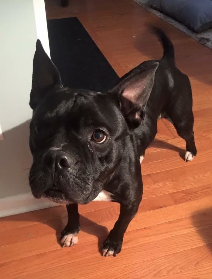 Luna is an adoptable Boxer searching for a forever family near Charlotte, NC. Use Petfinder to find adoptable pets in your area.