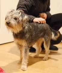 Image Result For Schnauzer Border Terrier Mix Border Terrier