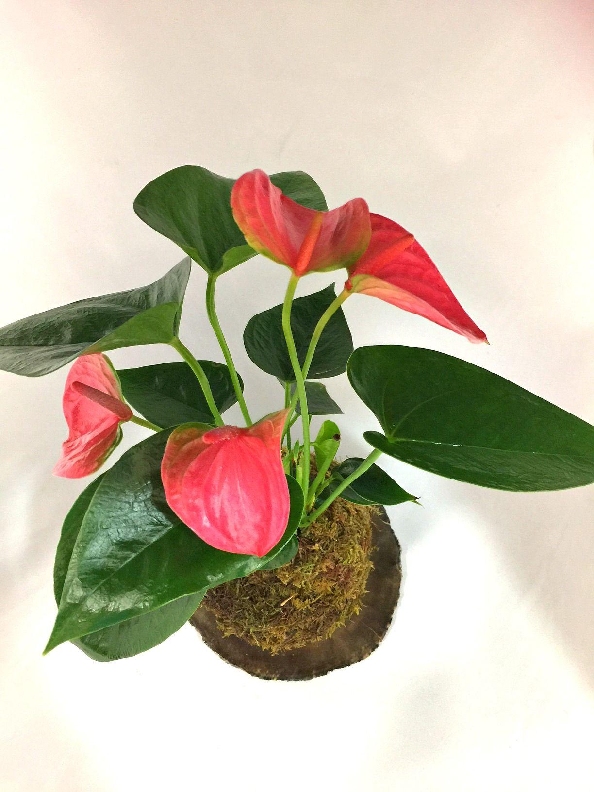 Tropical Anthurium plant