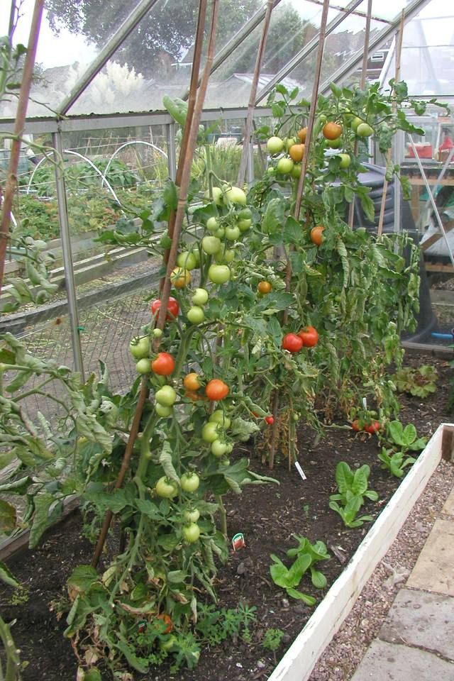 Best Tomatoes For Greenhouse Growing Greenhouse Farming 400 x 300