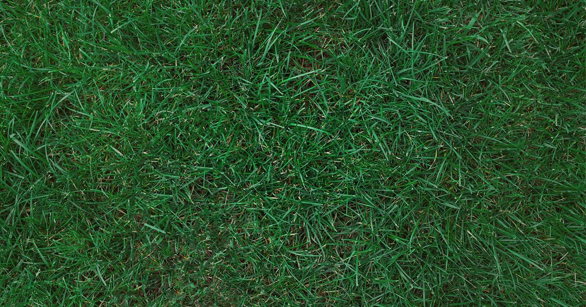 All You Need to Know About Kentucky Bluegrass is part of Grass lawn Water - When your lawn goals call for a dense, durable, coolseason lawn with luxuriant color, Kentucky bluegrass may be the answer to your hopes