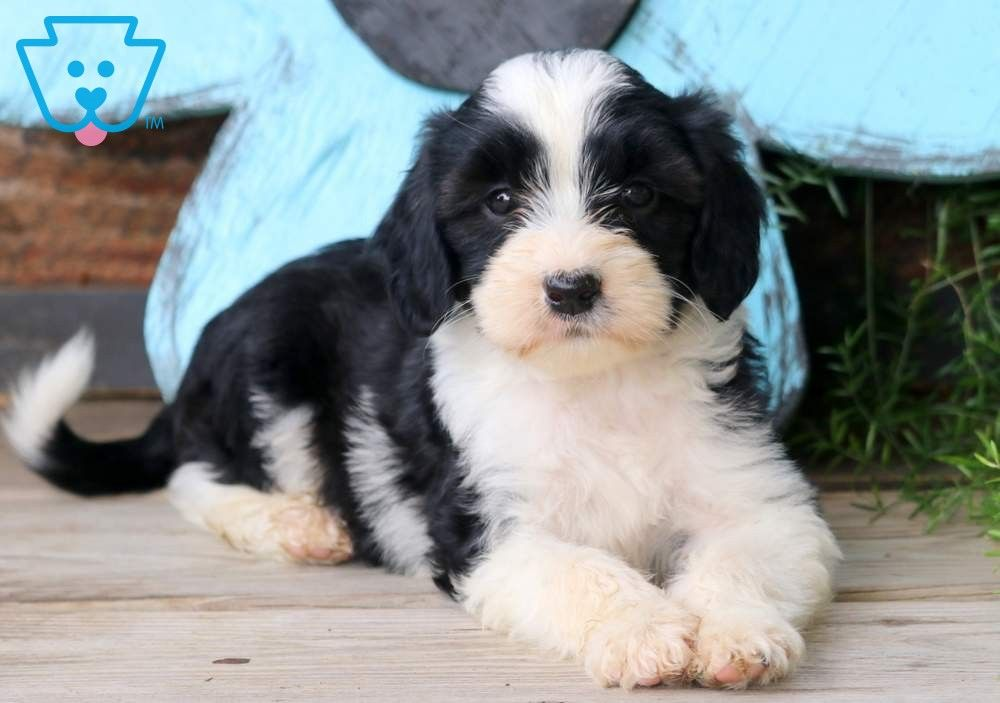 Sarge Poodle Mix Puppies Poodle Mix Cute Baby Puppies