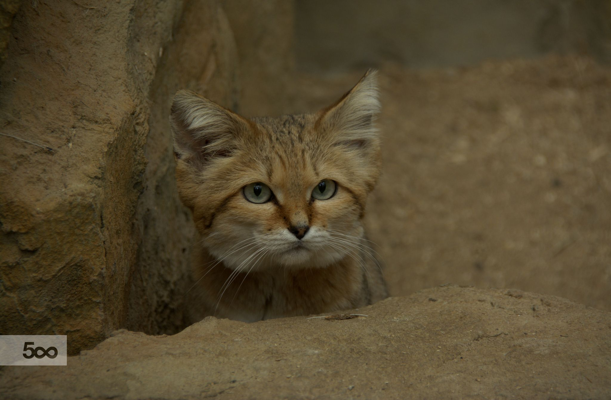 A gorgeous male Sand Cat stalking among the rocks