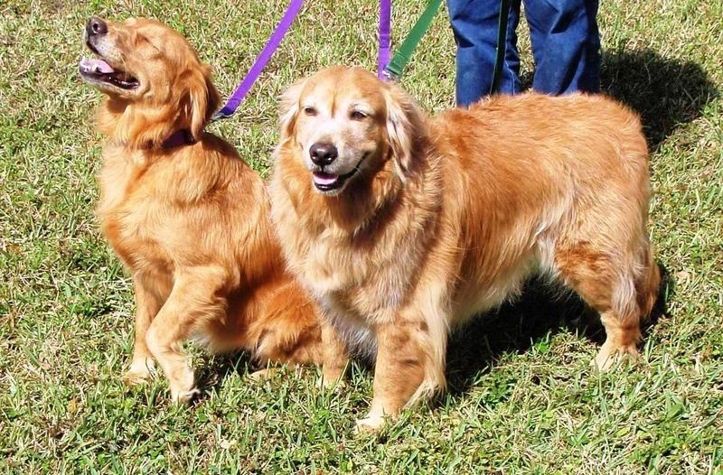 Adopt Lilly On Golden Retriever Rescue Dog Adoption Golden