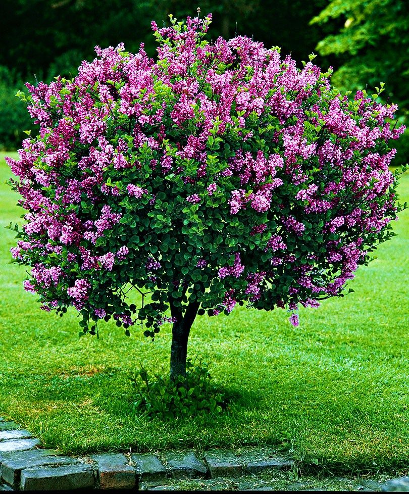 Arbre Persistant En Pot chaque année, le lilas nain sur tige (syringa meyeri