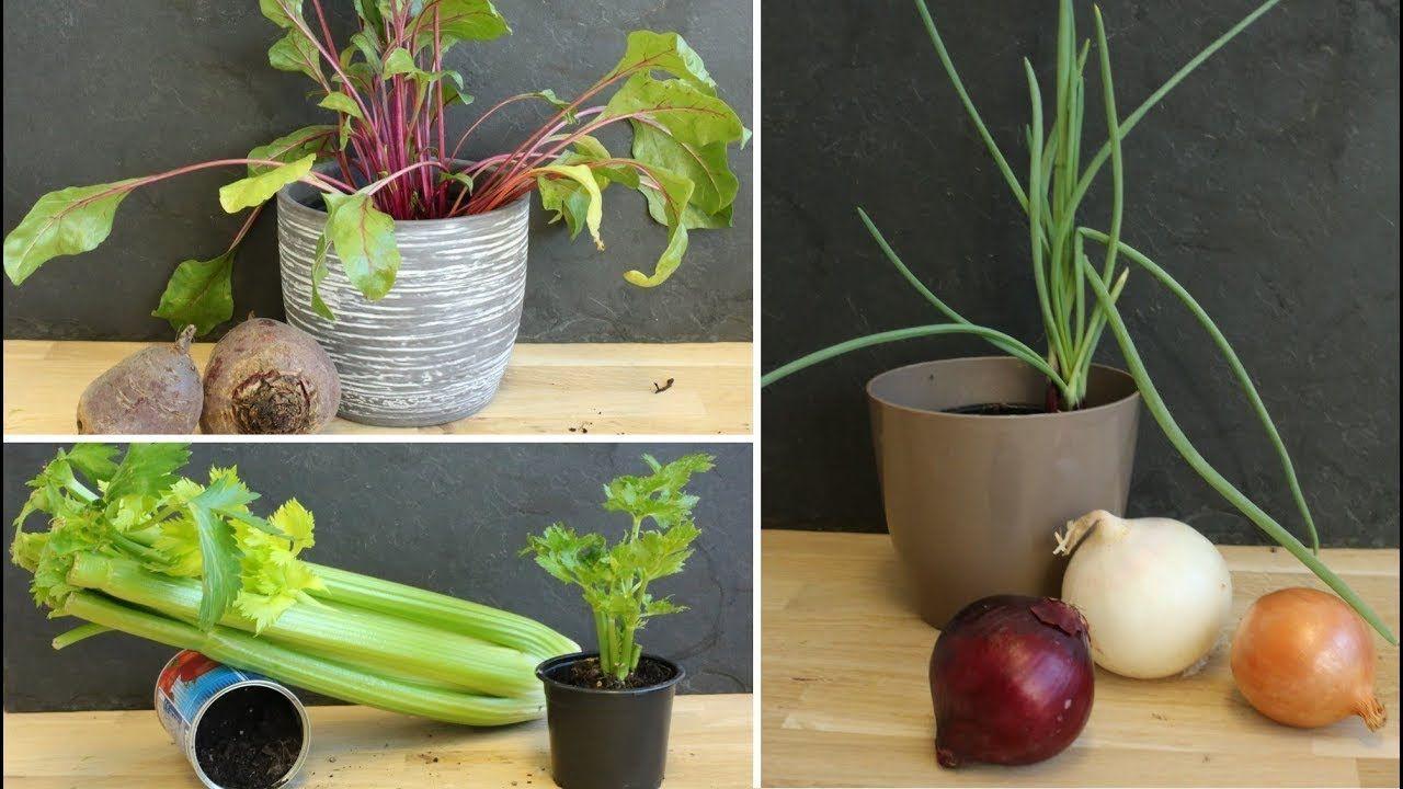 Gemüse nachwachsen lassen Zwiebel, Sellerie & Co endlos ernten ...