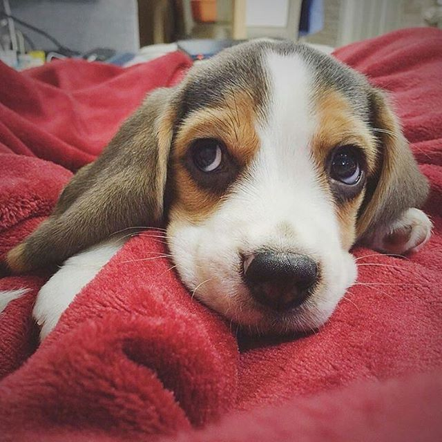 Dogs Pets Beagles Beagle Amo Los Animales Mascotas Cachorros
