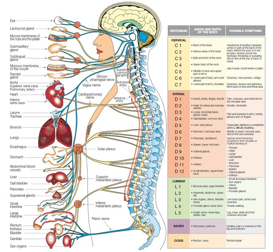 The central nervous system, which is protected by the spinal column ...