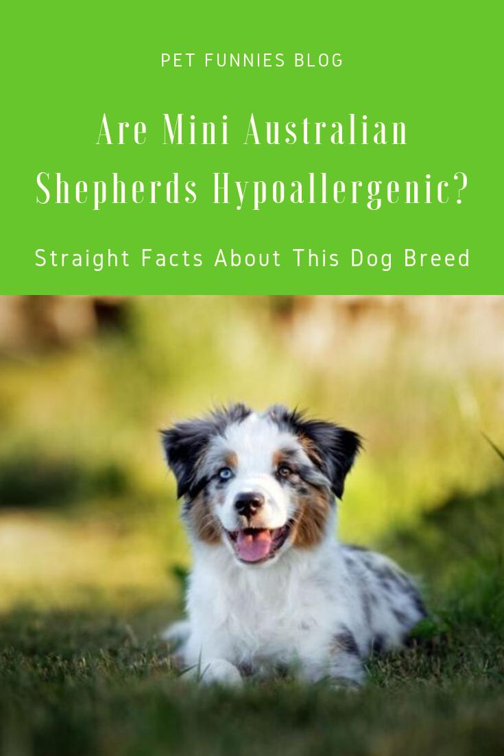 Are Mini Australian Shepherds Hypoallergenic? Straight